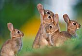 Rabbit (Oryctolagus cuniculus) juveniles beside burrow entrance in city park, Blackford Hill, Edinburgh, Midlothian, Scotland, May 1983\n