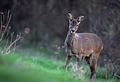 Roe Deer (Capreolus capreolus) female (doe) in evening light in dark winter coat, Berwickshire, Scotland, March, 2001