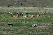 Gray foxes (Urocyon cinereoargenteus), or grey fox, looking for food in the grass of Torres del Paine National Park in southern Chile with guanacos in the background.