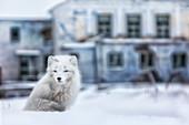 Arctic fox (Alopex lagopus), in the abandoned Russian settlement of Pyramiden, Billefjorden, Svalbard\n