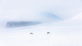 Svalbard reindeer crossing the tundra in late winter near Van Mijienfjord, Spitsbergen.\n