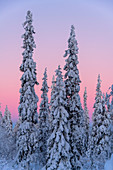Frozen trees under Arctic light, Lampivaara Hill, Luosto, Lapland, Finland