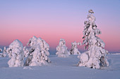Frozen trees (Tykky) under arctic light, Levi, Lapland, Finland