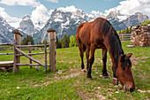 free horse grazing near malga maraia, auronzo di cadore,belluno,veneto,italy
