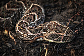 puff adder (Bitis arietans) in the Northern Serengeti, Tanzania\n