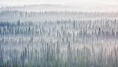 Alaskan forest at sunrise, near Copper Center, Alaska