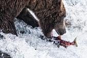 Brown bear fishing for silver salmon in Katmai National Park and Preserve, Alaska, USA