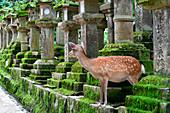 Deer on Nara lantern street, Honshu, Japan,Asia