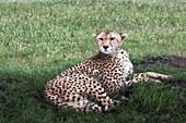 Cheetah (acinonyx jubatus) at rest in the rain, maasaimara, kenya