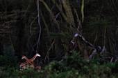 Rothschild's giraffe (Giraffa camelopardalis rothschildi) in Lake Nakuru National Park\n\n