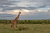 Masai giraffe (Giraffa tippelskirchi) in the Maasai mara game reserve, Kenya