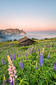 Alpe di Siusi/Seiser Alm, Dolomites, South Tyrol, Italy, Europe. Bloom on Plateau of Bullaccia/Puflatsch. In the background the peaks of Sciliar/Schlern