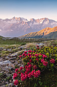 Flowering of Rhododendrons at the foot of the Presanella, Trentino Alto Adige, Italy
