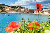 Red poppies framing the Bay of Silence, Sestri Levante, Genova province, Liguria, Italy