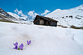 Isolated Crocus in snow with alpine hut in background, Juf, Avers, Viamala Region, canton of Graubunden, Switzerland