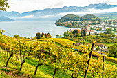 Vine trees on hills surrounding Spiez Castle and lake Thun, canton of Bern, Switzerland