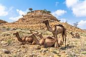 Group of camels for the salt caravan, Dallol, Danakil Depression, Afar Region, Ethiopia, Africa