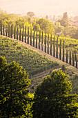 Vineyards on the hills near Castelvetro, Modena Province, Emilia Romagna, Italy.