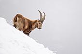 Stelvio National Park,Lombardy,Italy. Capra ibex