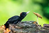 Park Orobie Valtellina,Lombardy,Italy. Black woodpecker,Dryocopus martius