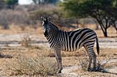 Burchell's zebra (Equus quagga burchellii), Moremi Game Reserve, Okavango Delta, Botswana.