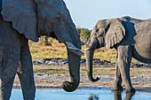 African elephants (Loxodonta africana), Savuti, Chobe National Park, Botswana.