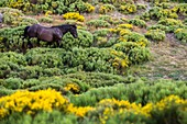 France, Lozere, Les Causses et les Cevennes, cultural landscape of the Mediterranean agro pastoralism, listed as World Heritage by UNESCO, National park of the Cevennes, listed as Reserve Biosphere by UNESCO, horse in the moor with brooms in the collar of Malpertus
