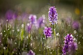 France, Lozere, Les Causses et les Cevennes, cultural landscape of the Mediterranean agro pastoralism, listed as World Heritage by UNESCO, National park of the Cevennes, listed as Reserve Biosphere by UNESCO, heath spotted orchid (Dactylorhiza maculata)