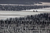 France, Manche, bay of Mont Saint Michel, listed as World Heritage by UNESCO, horses in oyster beds