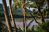Mekong, Luang Prabang, Laos, north, Southeast Asia, Asia, river, palm trees,