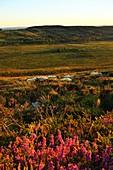 France, Finistere, Parc Naturel Regional d'Armorique (Armorica Natural Regional Park), Saint Rivoal, Monts d'Arree, Mont Saint Michel de Brasparts, herd of sheep and Cross leaved heath (Erica tetralix)