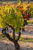 France, Var, Roquebrune sur Argens, vineyard during autumn