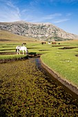 France, Haute-Corse, the lake Nino (1760m), stage on the GR 20 between the refuge of Manganu and the collar of Verghio or Castellu di Vergio, horses grazing the grass around pozzines (small puddles of water surrounded with grassy lawns)