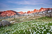 France, Alpes de Haute Provence, Mercantour National Park, Haut Verdon, blooming of the Buttercup of kuepfer (Ranunculus kuepferi) , in the background the Tours of lake of Allos (2745m)