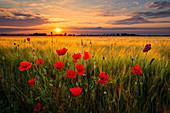 Sonnenuntergang, Sonne, Kornfeld, Mohn, Blumen, Leipzig, Sachsen, Deutschland, Europa\n