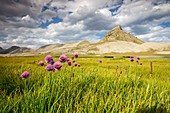 France, Alpes de Haute Provence, National Park of Mercantour, Haut Verdon, Colmar, peat bogs of the plateau of the lake Lignin (2276m), Chives in flower (Allium schoenoprasum)