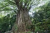 France, French Polynesia, Marquesas Archipelago, Nuku Hiva Island, Hatiheu, Tohua Kamuihei Archaeological Site, Banyan Tree (Ficus benghalensis)