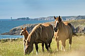 France, Finistere, Plougonvelin, horses at tip of Saint-Mathieu