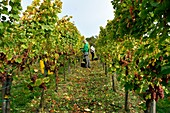 France, Bas Rhin, Alsace Wine Road, Dambach la Ville, Ruhlmann estate, grape harvest