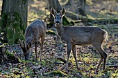 France, Doubs, deer, brocade and goat in forest in spring