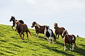 France, Pyrenees Atlantiques, Basque Country, Macaye, pottocks, pony breed, in a close