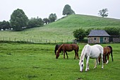 France, Pyrenees Atlantiques, around the Marie Blanque pass, horses in pastures