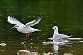 France, Doubs, natural area of Allan, Black headed Gull (Chroicocephalus ridibundus)