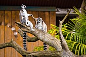 France, Sarthe, La Fleche, La Fleche Zoo, Unusual family accommodation at Tana Lodge for an intimate encounter with the Maki catta (Lemur catta) or Maki mococo or ring-tailed maki or ring-tailed lemurotection Status, Washington Convention Appendix IA (CITES), IUCN Status, Vulnerable (VU)