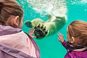 France, Sarthe, La Fleche, La Fleche Zoo, family observation of Taïko, male polar bear (Ursus maritimus) swimming in its basinotection status, Washington Convention Appendix II B (CITES), IUCN status, Minimum risk, dependent on conservation measures (LR-cd)