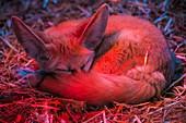 France, Sarthe, La Fleche, La Fleche Zoo, Fennec (Vulpes zerda) resting under an infrared heat lamp
