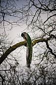 France, Sarthe, La Fleche, La Fleche Zoo, Blue peafow (Pavo cristatus) perched in trees