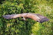 France, Sarthe, La Fleche, La Fleche Zoo, Griffon Vulture (Gyps fulvus) in flight