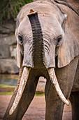 France, Sarthe, La Fleche, La Fleche Zoo, African elephant (Loxodonta africana) juvenile in nursery for elephantsotection status, Washington Convention Appendix I A (CITES) (except certain populations), IUCN Status, Vulnerable (VU)