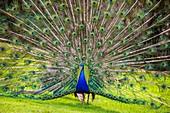 France, Sarthe, La Fleche, La Fleche Zoo, Blue peafow (Pavo cristatus) making wheel